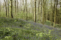 Bluebell wood. A spring view of a forest displaying a carpet of bluebells. A flower that blooms for a few weeks during the months of May/June Royalty Free Stock Photo