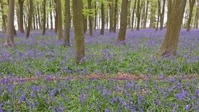 Bluebell Wood in springtime Stock Image