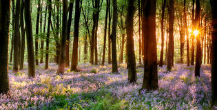 Bluebell wood sunrise royalty free stock photos