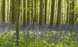 Bluebell Wood in Sussex. Masses of bluebells in woods in Sussex Royalty Free Stock Image