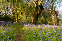 Bluebell Wood trail Royalty Free Stock Image