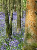 Bluebell wood and tree trunk covered in orange lichen Stock Image