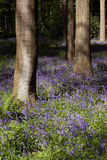 Bluebell wood with trees. Trees within a bluebell wood near edinburgh scotland Royalty Free Stock Image