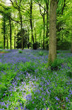 Bluebell Woodland Stock Photography