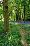 Bluebell Woodland Stock Image