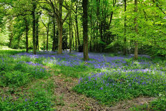 Bluebell Woodland Stock Photos