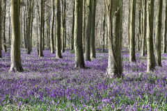 Bluebell woodland. Bluebells in woods in England in Spring Stock Images