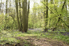 Bluebell woodland Royalty Free Stock Photography