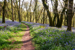 Bluebell woodland. English bluebell woodland Dartmoor Devon UK royalty free stock photo