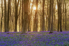 Bluebell woodland sunrise. Sunlight bursting through the trees just after dawn in a beech woodland full of bluebells near to Micheldever in Hampshire, England stock photos