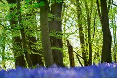 Bluebell woodlands in an ancient English woodland. Royalty Free Stock Images