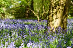 Bluebell woodlands in an ancient English woodland. Stock Photo