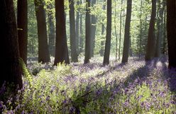 Bluebell woods. Early morning sunshine in bluebell woods royalty free stock photos