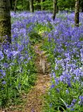 Bluebell Woods. Pheasant walking on a Path through a Bluebell woods Royalty Free Stock Photos