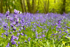 Bluebell woods. In spring in UK countryside Royalty Free Stock Photo