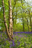 Bluebell woods. In spring in UK countryside Royalty Free Stock Photography