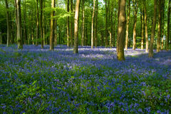 Bluebell Woods. A section of West Woods in Wiltshire famed for its show of Bluebells royalty free stock photo