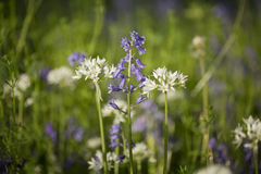 Free Bluebell Woods Royalty Free Stock Photography - 53618167