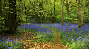 Bluebell Woods. A woodland path leads through a carpet of bluebells. Space is available for copy text to be added. A large tree frames the left hand side of the stock photos