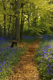 Bluebell Woods. A woodland path leads through a carpet of bluebells. Space is available for copy text to be added. The composition is in portrait royalty free stock photography