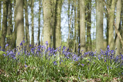Bluebell woods ashridge hertfordshire uk Royalty Free Stock Photos