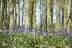 Bluebell woods ashridge hertfordshire uk Royalty Free Stock Photos