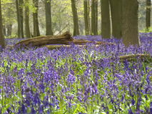 Bluebell Woods. Beech trees and carpet of bluebells Stock Image