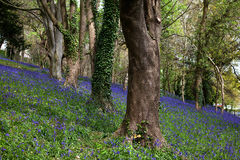 Bluebell woods in the centre of Bangor Royalty Free Stock Photo