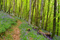 Bluebell Woods in Cornwall. Beuatiful bluebell woods near Looe in Cornwall Stock Image