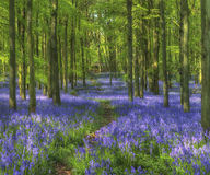 Bluebell woods, Dockey Wood, Hertfordshire Royalty Free Stock Photos