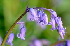 Bluebell in the woods. Drooping bluebell flower in the woods royalty free stock image