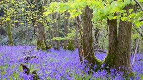 Bluebell Woods stock video footage