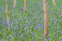 Bluebell woods in England Stock Image