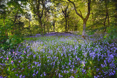 Bluebell woods in the evening light Royalty Free Stock Image