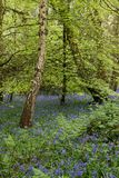 Bluebell woods Stock Image