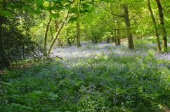Bluebell woods HDR with sunlight filtering through the trees Royalty Free Stock Images