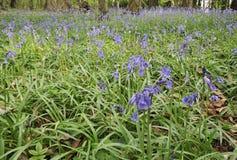 Bluebell Stock Photos