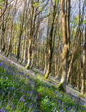 Bluebell Woods Stock Photos