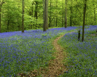 Bluebell Woods and path. A woodland path leads through a carpet of bluebells. Space is available for copy text to be added royalty free stock photo
