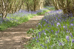 Bluebell Woods Pathway Stock Images
