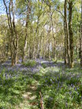 Bluebell woods pathway Stock Photography