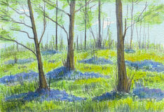 Bluebell woods in springtime. Stock Images