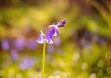 bluebelle Στοκ Φωτογραφίες