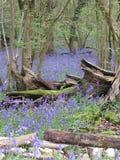 Bluebellholz lizenzfreie stockbilder