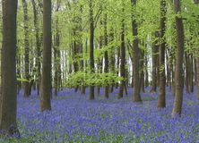 Bluebellholz in England lizenzfreie stockbilder