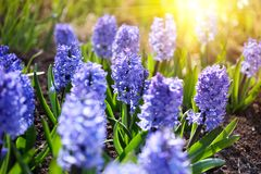 bluebells άνοιξη κήπων κινηματογρα Στοκ φωτογραφίες με δικαίωμα ελεύθερης χρήσης