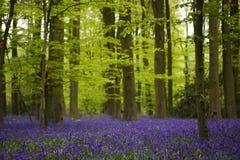 bluebells δάση Στοκ φωτογραφία με δικαίωμα ελεύθερης χρήσης