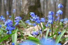 bluebells λουλούδια Στοκ Εικόνα