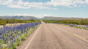 Bluebells, μεγάλο εθνικό πάρκο κάμψεων, μεγάλο εθνικό πάρκο κάμψεων, TX Στοκ Εικόνα