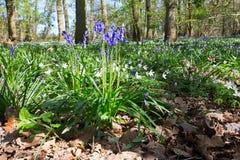 bluebells με το ξύλο anemones Στοκ φωτογραφίες με δικαίωμα ελεύθερης χρήσης